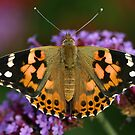 Painted Lady butterfly on Buddleia flowers, St Mellons Wales by Michael Field