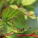 Green Hairstreak butterfly (underside), Buckland Wood, Somerset by Michael Field