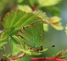 Green Hairstreak butterfly (underside), Buckland Wood, Somerset by Michael Field