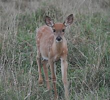 Curious Fawn by eawhite2012