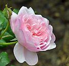Pink Beauty by lynn carter