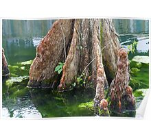 Bald Cypress in Water Poster