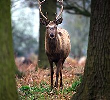 Wild Red Deer by Mark Poulton