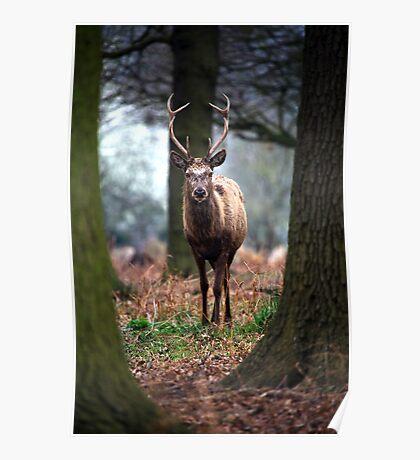 Wild Red Deer Poster