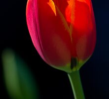Backlit Tulip Flower by Michael Russell