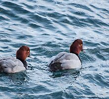 Two Red Head Dusks at Harbourfront, Toronto, Ontario, Canada by Gerda Grice