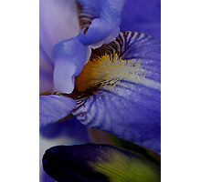blue iris flower and bud abstract Photographic Print