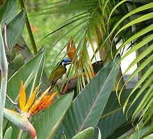 Blue headed honey eater on bird of paradise flower. by Virginia  McGowan