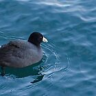 American Coot at Harbourfront by Gerda Grice