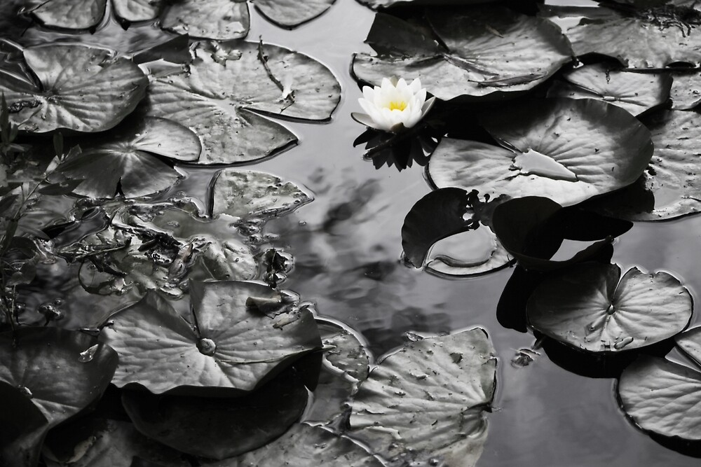 Water Lilies by Mark Poulton