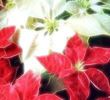 Mixed Color Poinsettias 2 Angelic by Christopher Johnson