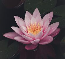 Pink Water Lily by Denise Worden