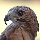 Red Tail Hawk II by Denise Worden