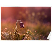 Pasque flower in purple light Poster