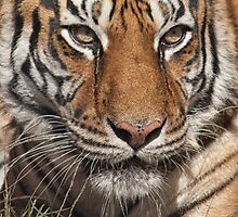 Tia Tiger, Conservators Center, NC by Denise Worden