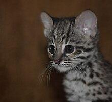 Baby Geoffroy's Kitten, Conservators Center, NC by Denise Worden