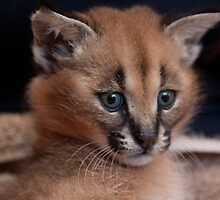 Baby Caracal, Conservators Center, NC by Denise Worden
