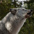 Hopa the Grey Wolf, Conservators Center, NC by Denise Worden