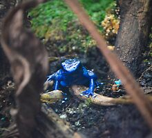 Blue Poison Dart Frog  by Jeanie93