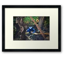 Blue Poison Dart Frog  Framed Print