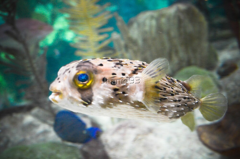 Puffer fish by jeanie93 redbubble for Puffer fish art