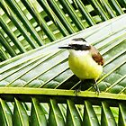 Great Kiskadee by Polly Peacock