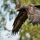 Australian Eagle by DavidsArt