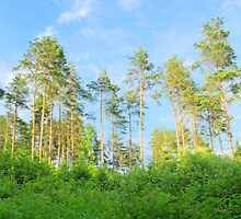 Pine forest in the summer  by juras