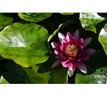 Vivid Magenta Lotus Bloom Photographic Print