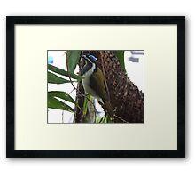 Blue Faced Honey Eater Framed Print
