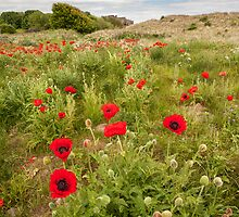 Amongst the Poppies-Bamburgh by maxblack