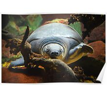 Soft Shell Turtle  Poster