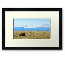 Lone Buffalo watching the Rocky Mountains Framed Print