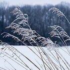 Frozen Grass in a Snowy Landscape by Mike Koenig