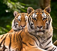 Pair of tigers guarding their domain, UK  by Speedy78