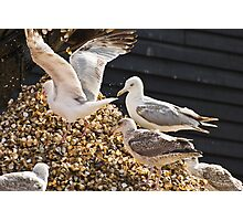 Hungry gulls scavenge cockles at Whitstable harbour, Kent, UK Photographic Print