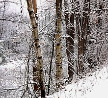 Birch Trees by Rusty Katchmer
