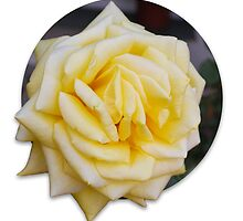 Yellow Rose by Brittney Lawrence