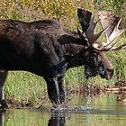 Splashing Moose by Eivor Kuchta