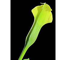 Yellow Calla Lily Photographic Print
