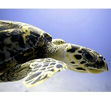 Hawksbill Caribbean Sea Turtle Close Up Photographic Print