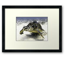 Caribbean Sea Turtle Framed Print