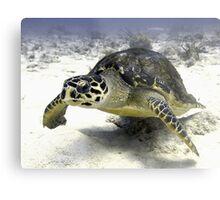 Caribbean Sea Turtle Metal Print