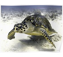 Caribbean Sea Turtle Poster