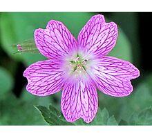 Wild Geranium Photographic Print