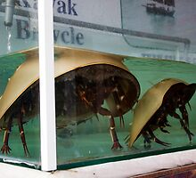 Shovel nosed lobsters in tanks at a Cat Ba cafe by Glen O'Malley