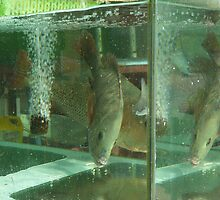 Fish in a tank at a Cat Ba cafe by Glen O'Malley