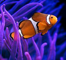 Clown Fish Swimming by TolgaCetin