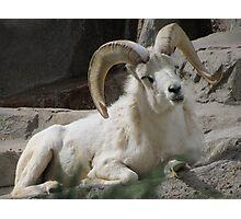 Mountian Goat Photographic Print