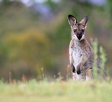 Red-necked Wallaby by Mark Will
